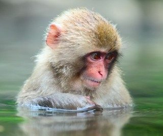 macaco japones Macaco japonés Macaco japonés macaco japones