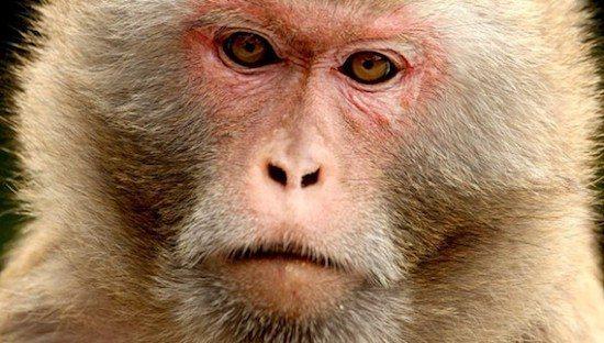 macaco rhesus 2 Macaco Rhesus Macaco Rhesus macaco rhesus 2