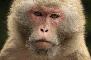macaco rhesus Macaco Rhesus Macaco Rhesus macaco rhesus1