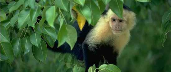 mono capuchino 2 Mono capuchino Mono capuchino mono capuchino 2