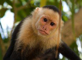mono capuchino Mono capuchino Mono capuchino mono capuchino 4