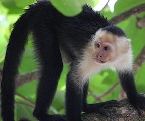 mono capuchino Mono capuchino Mono capuchino mono capuchino