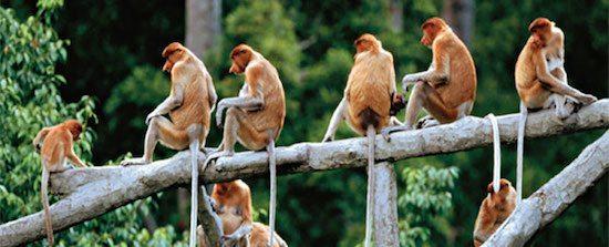 monos narigudos Mono narigudo Mono narigudo monos narigudos