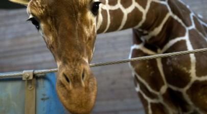 asesinan a una jirafa