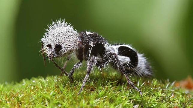 hormiga panda2--644x362 Animales extraños: Hormiga panda, el Frankenstein de los insectos Animales extraños: Hormiga panda, el Frankenstein de los insectos hormiga panda2
