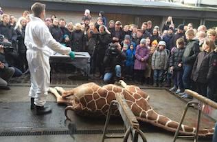 jirafa muerta Matan a un bebé jirafa en el Zoo de Copenhague y reciben amenazas de muerte Matan a un bebé jirafa en el Zoo de Copenhague y reciben amenazas de muerte jirafa muerta