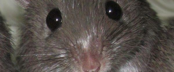 raton Descubren un tipo de ratón que se regenera de graves heridas Descubren un tipo de ratón que se regenera de graves heridas raton