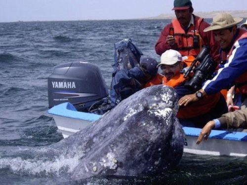 ballenas animales Los barcos reducen su velocidad en California para salvar ballenas Los barcos reducen su velocidad en California para salvar ballenas 1409497291 265958 1409497626 noticia normal