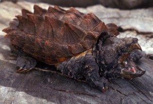 150 Las 5 tortugas más extrañas del mundo Las 5 tortugas más extrañas del mundo 150