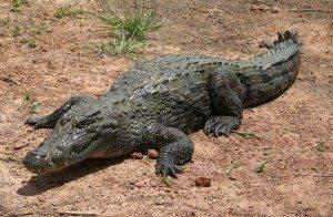 """Bazoule_sacred_crocodiles_MS_6709cropped """"¿Sabías qué el tamaño del cerebro de un cocodrilo es igual al dedo pulgar de una persona?"""" """"¿Sabías qué el tamaño del cerebro de un cocodrilo es igual al dedo pulgar de una persona?"""" Bazoule sacred crocodiles MS 6709cropped"""