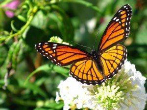 MariposaMonarca_2 La radiación de Fukushima ha alterado incluso la salud de las mariposas La radiación de Fukushima ha alterado incluso la salud de las mariposas MariposaMonarca 2