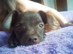 WP_001231 Razas de perros y problemas genéticos de salud Razas de perros y problemas genéticos de salud WP 001231