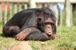 chimpances-deprimidos ¿Por qué se deprimen los animales? ¿Por qué se deprimen los animales? chimpances deprimidos