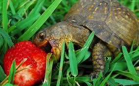 descarga ¿Qué alimentación debe  tener una tortuga? ¿Qué alimentación debe  tener una tortuga? descarga