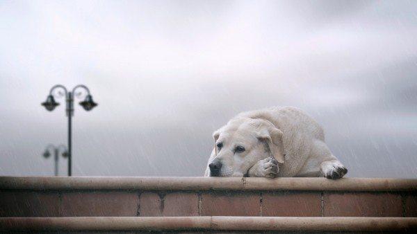 fondo-escritorio-de-perro-bajo-la-lluvia_1039102784 pretege a tu perro de la lluvia Pretege a tu perro de la lluvia fondo escritorio de perro bajo la lluvia 1039102784