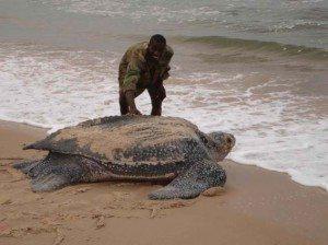 leatherback_sea_turtle_giant Las 5 tortugas más extrañas del mundo Las 5 tortugas más extrañas del mundo leatherback sea turtle giant