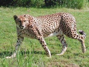 leopardo_small El leopardo, cazador solitario. El leopardo, cazador solitario. leopardo small