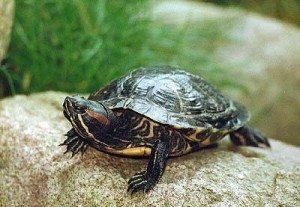 tortuga-de-agua1 La infección ocular en las tortugas La infección ocular en las tortugas tortuga de agua1