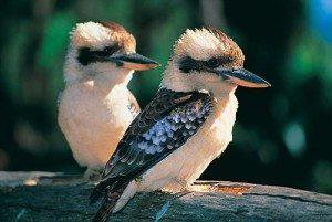 6EC_kookaburra-pair El kookaburra El kookaburra 6EC kookaburra pair