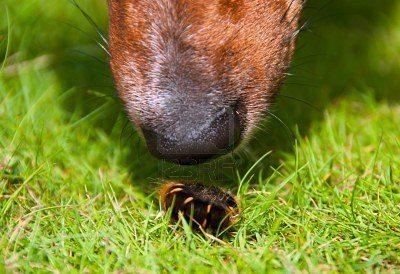 8746586-closeup-del-perro-curioso-nariz-oliendo-gusano-peludo-fiend El perro detecta el olor de bacterias. El perro detecta el olor de bacterias 8746586 closeup del perro curioso nariz oliendo gusano peludo fiend