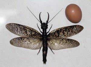 Descubren-el-insecto-acu-tico-m-s-grande-del-mundo--Fotos- El insecto acuático volador más grande del mundo El insecto acuático volador más grande del mundo Descubren el insecto acu tico m s grande del mundo Fotos