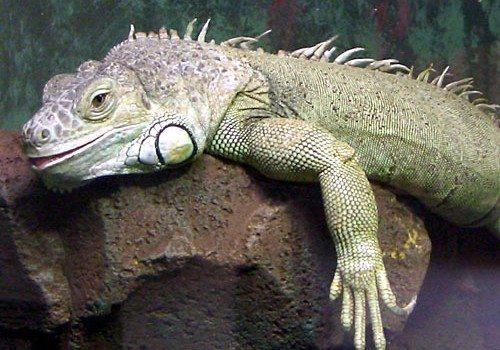 Enfermedades Iguana La iguana: Estomatitis La iguana: Estomatitis EnfermedadesIguana