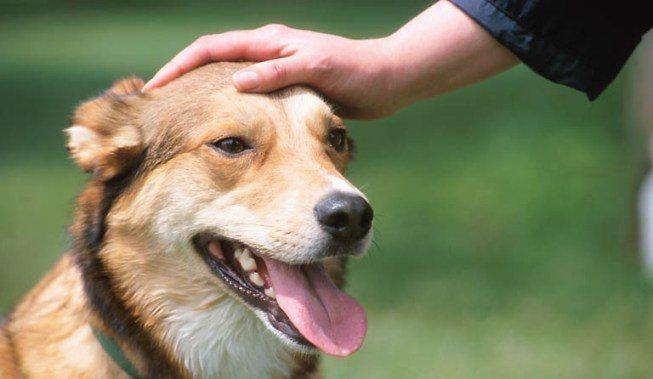 acariciar_orejas_perro Cómo saludar a un perro Cómo saludar a un perro acariciar orejas perro