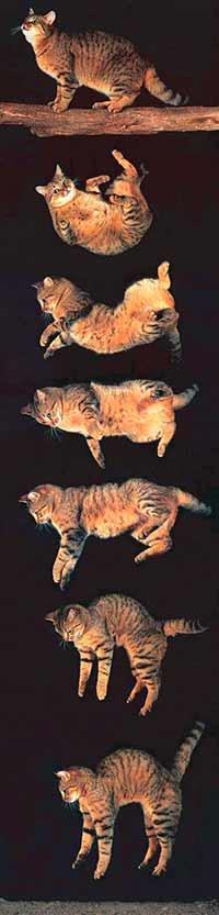 caen-siempre-de-pie-gatos-cayendo ¿Por qué los gatos caen de pie? ¿Por qué los gatos caen de pie? caen siempre de pie gatos cayendo
