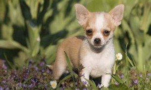 chihuahua-xl-668x400x80xX ¿Por qué tiemblan los perros? ¿Por qué tiemblan los perros? chihuahua xl x80xX