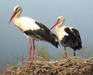ciguena Las cigüeñas:habitat. Las cigüeñas:habitat. ciguena