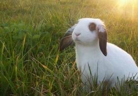 conejo_campo Alimentación del conejo:Cecotrofia. Alimentación del conejo: Cecotrofia conejo campo