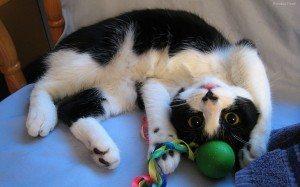 gato-jugando-5613 Los juegos del gato y su importancia. Los juegos del gato y su importancia. gato jugando 5613