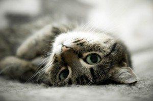 House Cat  Cómo conseguir que los gatos no orinen en las alfombras  Cómo conseguir que los gatos no orinen en las alfombras gato rascandose