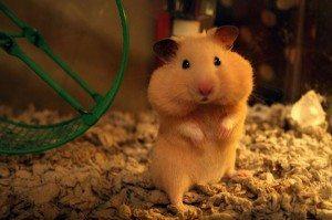 hamster-full-cheeks El hamster:vitaminas El hamster: Vitaminas hamster full cheeks