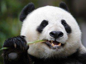 image El oso panda El oso panda image