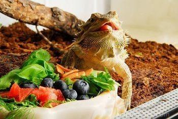 lagarto comida Cociente calcio-fósforo:en reptiles Cociente calcio-fósforo: En reptiles image11