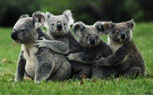 koala- El koala El koala koala