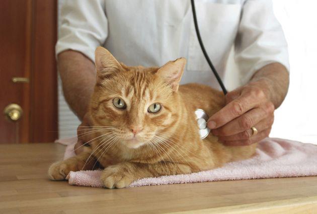 leucemia-felina-3 Leucemia felina, conoce sus verdades. Leucemia felina, conoce sus verdades. leucemia felina 3