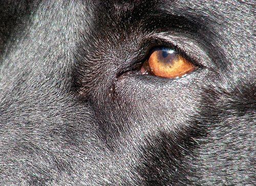 ojo Ceguera en perros. Ceguera en perros ojo