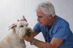 otitis-en-perros Remedios caseros para la otitis en perros. Remedios caseros para la otitis en perros. otitis en perros