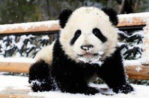 panda_wolong_01 El oso panda El oso panda panda wolong 01