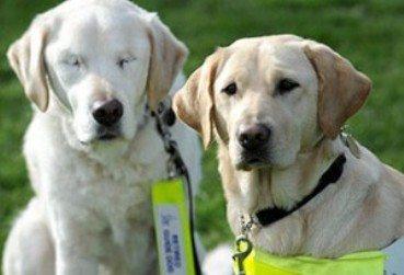 perro-ciego Consejos para cuidar a un perro ciego Consejos para cuidar a un perro ciego perro ciego
