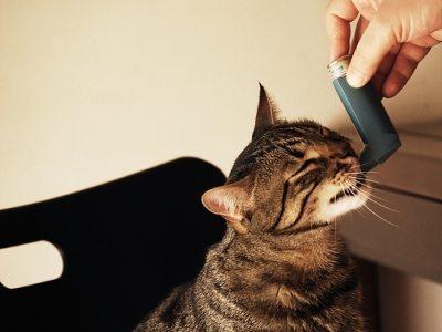 GatoAsmatico Bronquitis felina Bronquitis felina GatoAsmatico