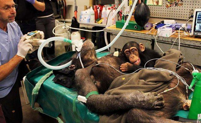 chimpance-zoologico_Aalborg-Dinamarca-operacion_a_chimpance_MDSIMA20141112_0227_1 Imposible separar a la pequeña chimpancé de su madre que va al quirófano Imposible separar a la pequeña chimpancé de su madre que va al quirófano chimpance zoologico Aalborg Dinamarca operacion a chimpance MDSIMA20141112 0227 1