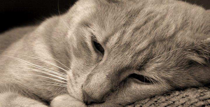 gato-triste-1 La leucemia en gatos La leucemia en gatos gato triste 1