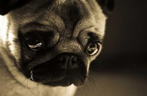 los-perros-y-la-depresion_31bg5 La depresión en los perros La depresión en los perros los perros y la depresion 31bg5