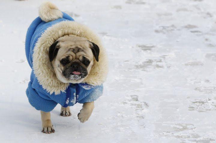 ola-de-frio-siberiano ¿Cómo elegir la ropa de abrigo adecuada para nuestro perro? ¿Cómo elegir la ropa de abrigo adecuada para nuestro perro? ola de frio siberiano
