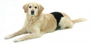 panal-banda-fajin-absorbente-perros-macho-300x150 La incontinencia en los perros La incontinencia en los perros panal banda fajin absorbente perros macho