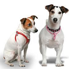 perro-con-collar-o-arnes Collar o arnés, ¿cuál es mejor? Collar o arnés, ¿cuál es mejor? perro con collar o arnes