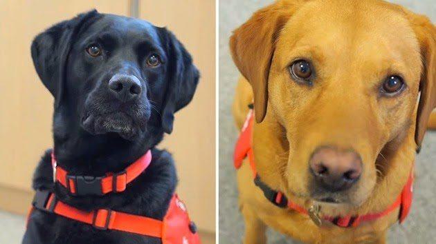 perros para diagnostico Una perra salva a su dueña y da inicio a un nuevo método para detectar enfermedades Una perra salva a su dueña y da inicio a un nuevo método para detectar enfermedades perros para diagnostico